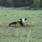 Farm Fresh Cows2